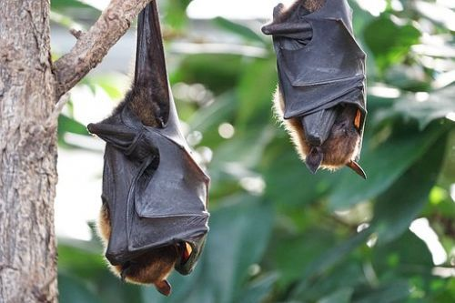 flying-foxes-2237209__340